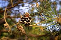 Single pine cone on a tree branch.