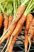 Freshly harvested organic carrots with soil clinging to them