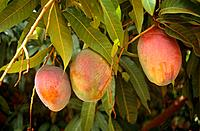 The fragrant fleshed Mango fruit,Mangifera indica,is an important food crop and export for the country of Mali.