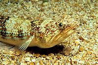 Lizardfish on Sand, Synodus saurus, Medes Islands, Costa Brava, Spain
