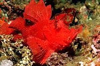 Red Paddle_Flap Rhinopias, Rhinopias eschmeyeri, Lembeh Strait, Sulawesi, Indonesia