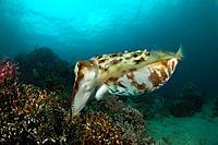 Broadclub Cuttlefish guarding his Eggs, Sepia latimanus, Lembeh Strait, Sulawesi, Indonesia