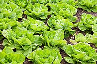 Domestic Garden _ Lettuce