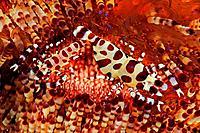 Pair of Coleman Shrimps on Fire Sea Urchin, Periclimenes colemani, Asthenosoma varium, Tulamben, Bali, Indonesia