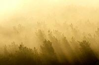Morning mist over forest in spring, Ruin Drachenfels, Busenberg, Pfaelzerwald, Rhineland_Palatinate, Germany