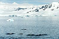 Orca Whales Orcinus orca, mountain peaks in the background, Gerlache Strait, Deception Island, Antarctic Peninsula