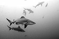 Bull Sharks, Carcharhinus leucas, Beqa Lagoon, Viti Levu, Fiji