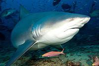 Bull Shark, Carcharhinus leucas, Beqa Lagoon, Viti Levu, Fiji