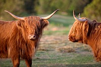 Highland cattle or Kyloe - An ancient Scottish breed of beef cattle, Highlands, Scotland