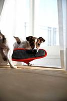 Jack Russell Terrier Carrying Slipper