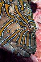 Giant Hawkfish, Cirrhitus rivulatus, Malpelo, East Pacific Ocean, Colombia
