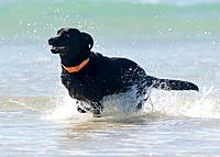 black lab running in ocean, tarifa, cadiz, spain