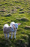 two lambs side by side on the grass, shetland scotland