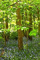 a forest with bluebells, northumberland england