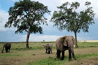 African Elephants strolling to the Marsh