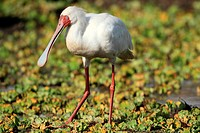 Long spoon shaped bill helps the African spoonbill to to fish in the marshy water, Masai Mara Natonal Reserve, Kenya