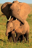 Mother and baby african elephant, Masai Mara National reserve, Kenya