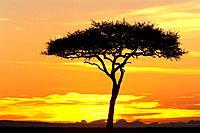 View of an orange and yellow sunrise through Acacia Tree, Masai Mara Game Reserve, Kenya, Africa