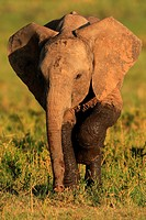 African Elephant, Masai Mara National reserve, Kenya