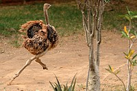 Young female ostrich running, Lake Baringo, Kenya