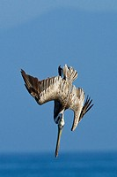 Brown Pelican Dives for Fish in Harbor Santa Cruz California USA.