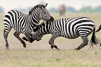 Two Burchell's Zebras, Masai Mara National Reserve, Kenya
