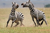 Male Zebras fighting to win female for mating in Masai Mara