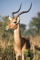 gemsbok, botswana, africa