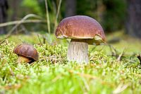 wild mushrooms in moss