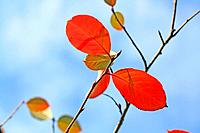 Plum leaves
