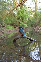 Common Kingfisher Alcedo atthis adult male, feeding, with with Three_spined Stickleback Gasterosteus aculeatus prey in beak, perched on fallen branch ...