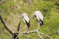 Asian Open_billed Stork Anastomus oscitans two juveniles, preening, standing on branch, Keoladeo Ghana N P Bharatpur, Rajasthan, India
