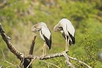 Asian Open_billed Stork Anastomus oscitans two juveniles, preening, standing on branch, Keoladeo Ghana N P Bharatpur, Rajasthan, India