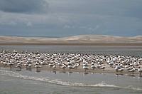 Elegant Tern Thalasseus elegans flock, breeding plumage, standing on sandbank in lagoon habitat, Laguna Ojo de Liebre Scammons Lagoon, Parque Natural ...