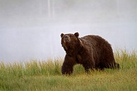 European Brown Bear Ursus arctos arctos adult, sniffing air, walking at edge of mist covered lake, Finland, july