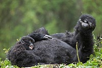 Mountain Gorilla Gorilla beringei beringei adult female with young, resting on nest, Volcanoes N P , Virunga Mountains, Rwanda