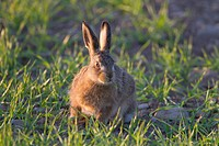 European Hare Lepus europaeus leveret, feeding in crop field, Berwickshire, Scottish Borders, Scotland, may