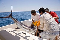 Sport fishing in Drake Bay, Costa Rica  Hauling in a Blue Marlin Makaira nigricans