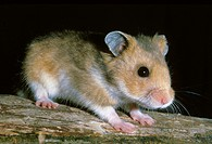 Golden Hamster, mesocricetus auratus, Adult against Black Background
