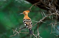 Hoopoe, upupa epops, Adult standing on Acacia Branch, Kenya