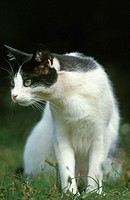 Black and White Domestic Cat, Adult sitting on Grass