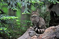 Wild cat Felis silvestris sitting on fallen tree trunk in woodland, Bavarian Forest, Germany