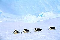 Penguins Sliding on Snow