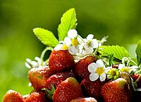 strawberry in the summer garden