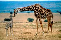 Two giraffes, mother and young animal in the savannah in Kenia