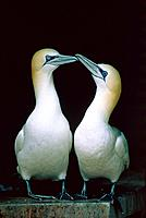 Two northern gannets standing next to each other and touching their beaks