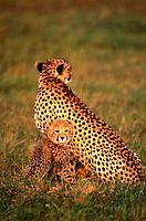 Cheetah with young animal sitting back to back