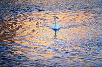 Swan on lake at twilight