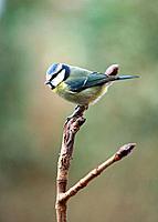 Blue Tit _ Parus caeruleus