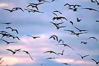 Flock of herons in flight at dusk